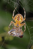 Spider on a web with its captured hoverfly. Stock Images
