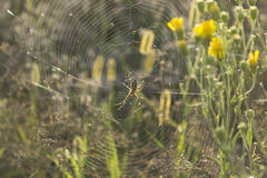 Spider on web in its natural habitat. A spider is on its web in front of green natural background of field flowers Royalty Free Stock Photography