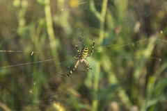 Spider on web in its natural habitat. A spider is on its web in front of green natural background of field flowers Royalty Free Stock Images