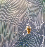 Spider web and its owner shrunken at the center Royalty Free Stock Photography