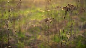 Spider web with a large spider on the dry tansy flowers in the rays of the setting sun. A web with a large spider on the flowers of dry tansy flutters in the stock footage