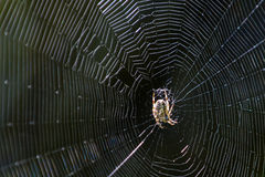 Spider web. A large orb spider sits in the center of its web. Web is highlighted against a dark background Stock Photos