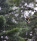 Spider on a web Royalty Free Stock Photo