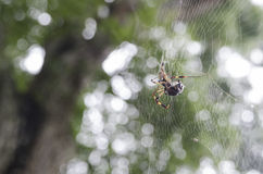Spider on a web 2 Royalty Free Stock Photos