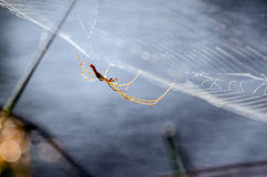 Spider Web, Longbodied Cellar Spider royalty free stock photography