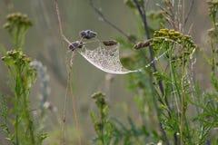 Web hammock. Spider web that looks like a hammock on a dewy summer meadow, Estonia Stock Photography