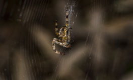 Spider in web Stock Photography