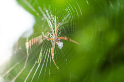 Spider on web. Macro spider and web in green background Royalty Free Stock Photography