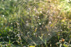 Spider web on a meadow. Royalty Free Stock Photo