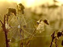 Spider web on a meadow at sunrise Royalty Free Stock Photography