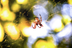 Spider on the web in Montenegro Stock Photography