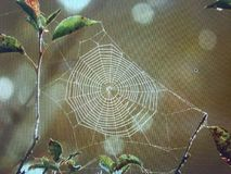 Spider Web. After the morning dew Royalty Free Stock Images