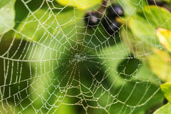 Spider web with morning dew Royalty Free Stock Photo