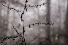 Spider web with morning dew. In the cloud forest Stock Photo