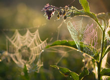 Spider Web in the morning Stock Image