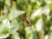 Spider in web with a natural  background Royalty Free Stock Photo