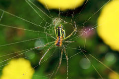 Spider And The Web In The Nature Royalty Free Stock Photography