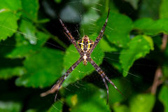 Spider and web in nature Royalty Free Stock Photography