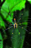 Spider on the web (Nephila maculata). In thailand Stock Image