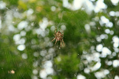 Spider on the web over green Stock Photography