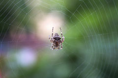 Spider on the web over green background Royalty Free Stock Image