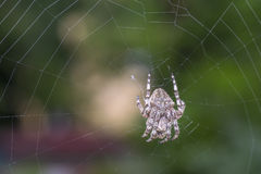 Spider on the web over green background Royalty Free Stock Photo