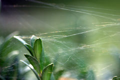Spider web over the leaves Stock Photo