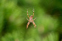 Spider on the web. Spider on a web in the park in late summer Royalty Free Stock Photos