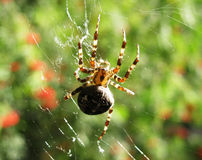 The spider on web Stock Photos