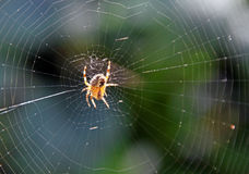 Spider on web Royalty Free Stock Image
