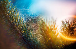 Spider web on pine. Branch, sunrise light