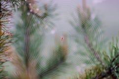 Spider web on pine Stock Photos