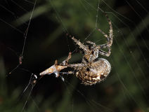 Spider in web with prey. Stock Photography
