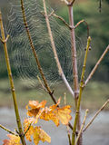 Spider web on a shrub Stock Photo