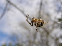Spider, web, sky, weighs, crawling, paws Royalty Free Stock Photography