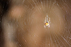 Spider on the web Royalty Free Stock Images