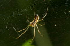 Spider in a web Royalty Free Stock Photography
