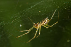 Spider in a web Royalty Free Stock Images
