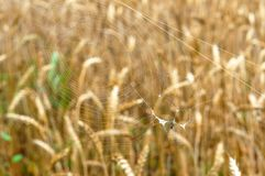 Spider web on the background of ears, spider web with a small spider royalty free stock photo