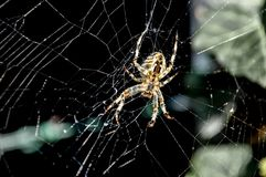 Spider Web, Spider, Arachnid, Invertebrate Stock Photo