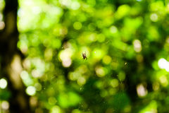 Spider web with a spider on the background of a green colorful forest with a pleasant soft light Stock Photo