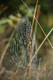 Spider web with spider Royalty Free Stock Image