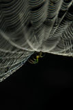 Spider web and spider. Stock Photography