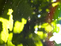 Spider web and spider. A small spider sits in the middle of a web among the leaves Royalty Free Stock Photo