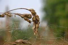 Spider web with spider on spikelet with blurred background. royalty free stock photography