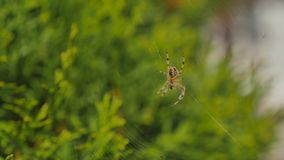 Spider web spiderweb in morning on green background.  stock footage