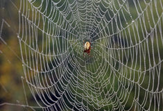 Spider on web. Spider standing on his web covered with water droplets Stock Photos