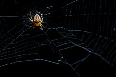Spider on the Web Royalty Free Stock Photography
