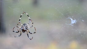 Spider on the web, summer environment, stock video footage