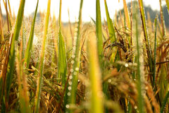 Spider Web on sunlight in the Morning. Spider Web on sunlight in the Rice Field Royalty Free Stock Image
